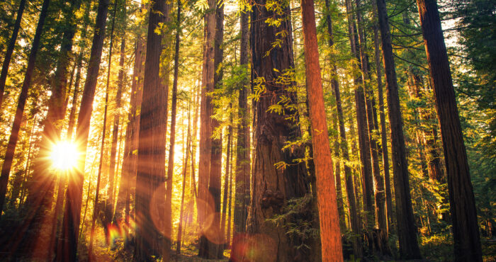 Redwoods image